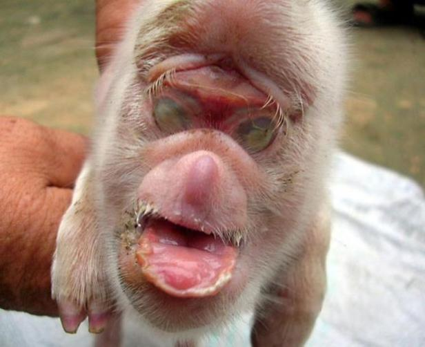 pig-born-with-the-face-of-a-monkey_0