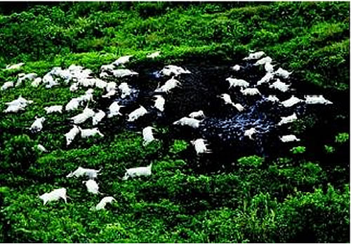http://xenophilius.files.wordpress.com/2008/11/grazing-cattle-killed-lake-nyos.jpg