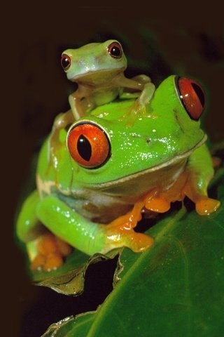 Cute-frogs0