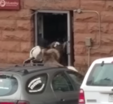 sheepattack