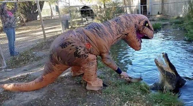 Faux T-Rex feeds a 500 lb alligator