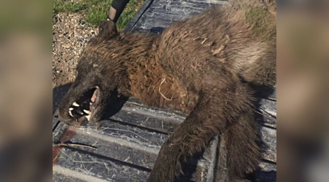"""""""Ancient Looking"""" Wolf-Like Creature Killed in Montana, a Theory"""