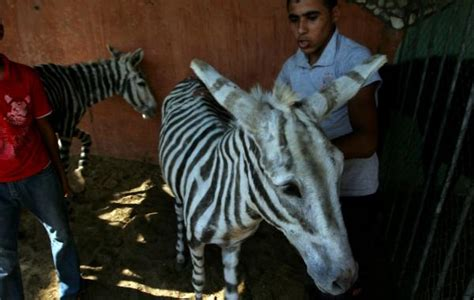 3bd47379a8cb1 Photos  Egyptian Zoo Denies Its Zebras are Painted Donkeys