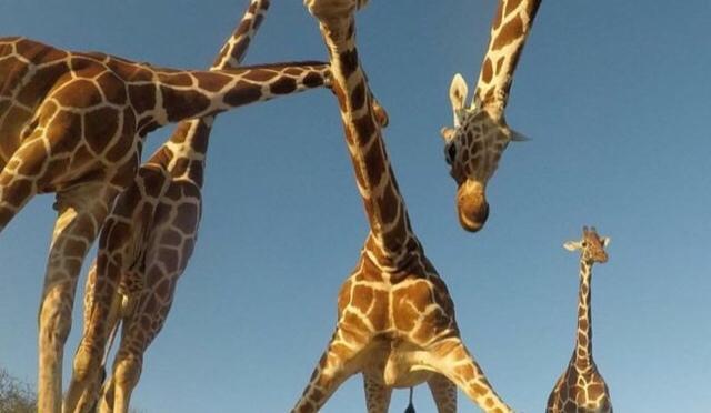 Award Winning Photo of Giraffes