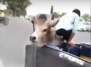 Bulls Fight In Road, One Ends Up In Vehicle