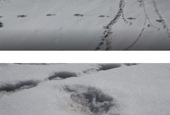 Indian Army Tweets Yeti Print Images